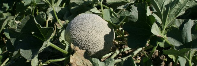 Sessions on food safety audits will be conducted for cantaloupe growers.
