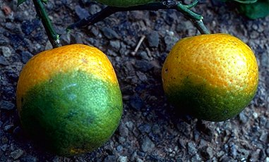The Asian citrus psyllid finds raise the possibility of ctirus greening disease.