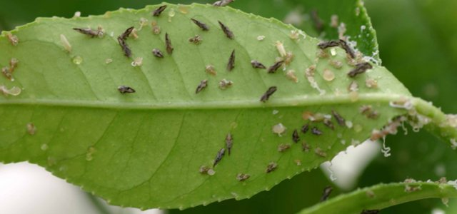 An Asian Citrus Psyllid find has expanded the quarantine in Madera County.