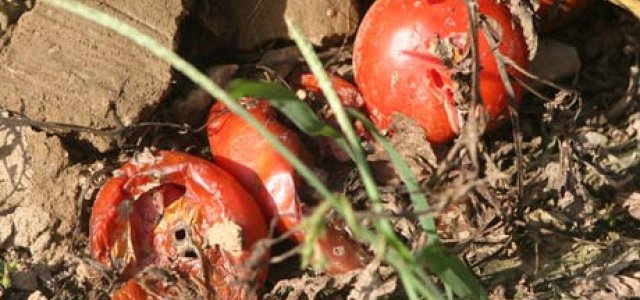 Picture of rotting tomatoes in a field