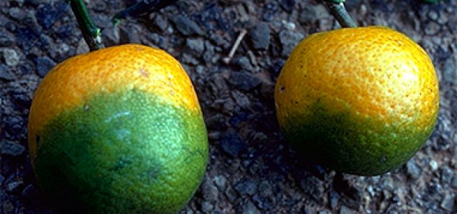 Psyllid Treatment Strategy Meetings Being Held for Valley Citrus Growers