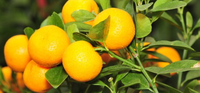 California Citrus Regains Access to Chinese Markets