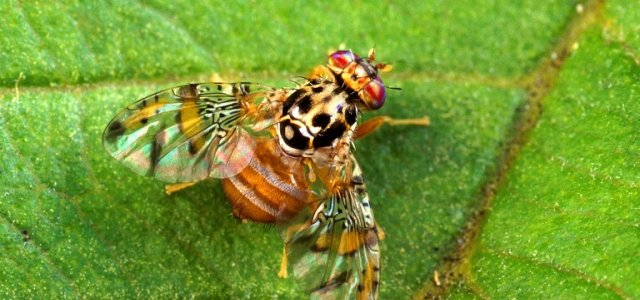 Medfly Quarantine Issued in Central Los Angeles