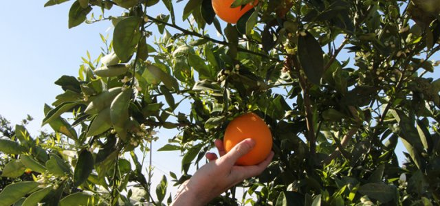 Arizona Department of Agriculture to Hold Citrus Health Summit
