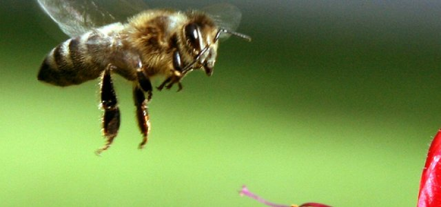 Close-up Picture of a Bee Hovering Near a Plant