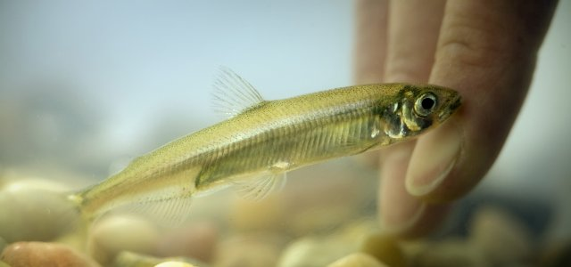 Supreme Court to Review Delta Smelt Appeals Cases