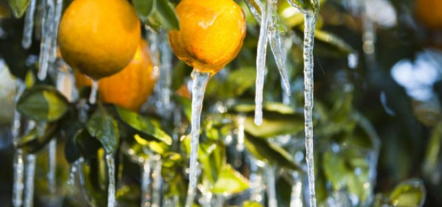 Picture of Oranges With Icicles