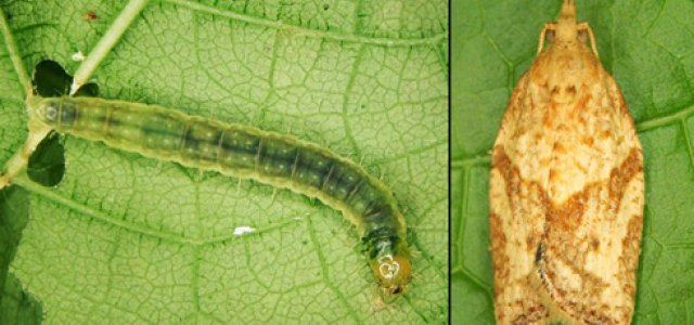 Light Brown Apple Moth and larvae